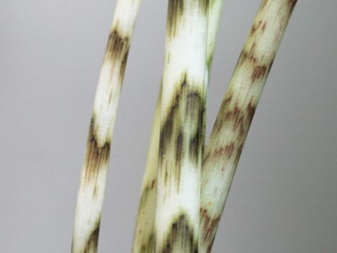 A.tigrina2