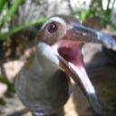 kokobird