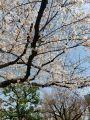 教育の森公園の桜